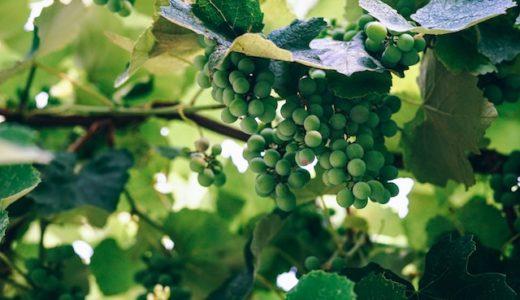 【マツコの知らない世界】種ありブドウの購入方法と品種を紹介!